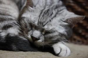 寝ていr猫
